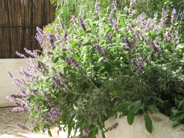 Our sage bush on the patio is starting to look a bit tired and the blossoms fading but, still beautiful.