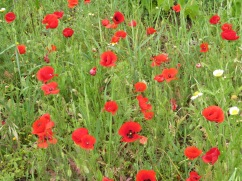 Several of the fields were alive with red dancing poppies.