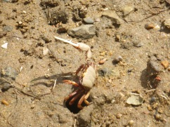 Thousands of fiddler crabs were actively scurrying about the entire shoreline.