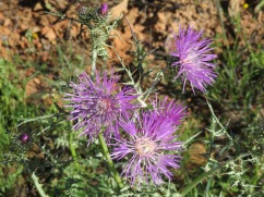 The thistles are in bloom all along the mountain trail and in almost all the fields along the sides of the road.