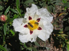 Gum cistus and a bee in flight!