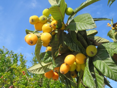 The nespera (loquats) are ripe and are readily available in all markets right now.