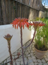 Our aloe vera has multiplied in blooms.