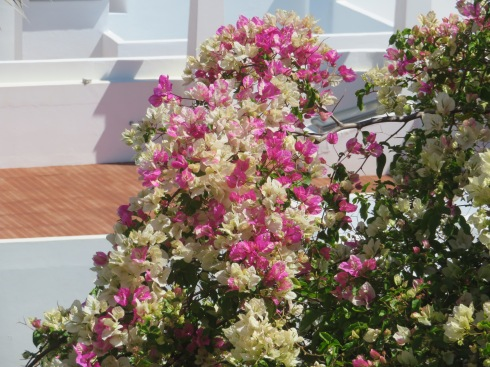 The mixture of white and pink bougainvillea was gorgeous.