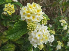 This is the lantana up close. I am very partial to the white and yellow. I love how they tend to reverse colour.