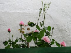 High up on the wall I could see this lovely pink rose bush.