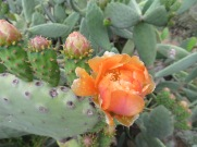 And just beside the car, a cactus blooming. I adore seeing these unusual blooms each year.