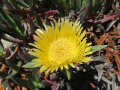 The Hottentot Figs were sprawling all along the trail and in an array of colours.