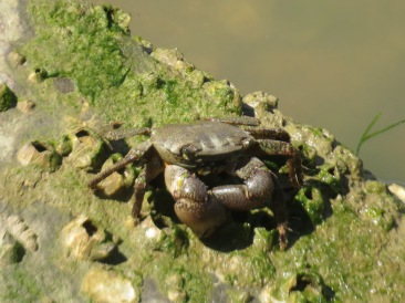 This was not a Fiddler Crab. I saw him and I swear he folded his claws and stared at me as if to tell me to get lost!
