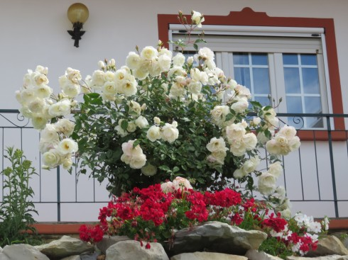 What a truly beautiful rose bush!!!! I would love to have been able to get in the garden and close enough to smell these.