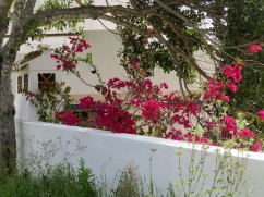 Bougainvillea is absolutely everywhere right now, and deeply rich in colour