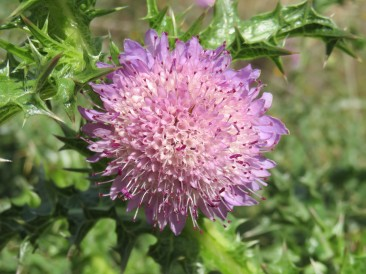 This is called a Globe Thistle and they are in abundance right now. They are used in many of the cheeses here.