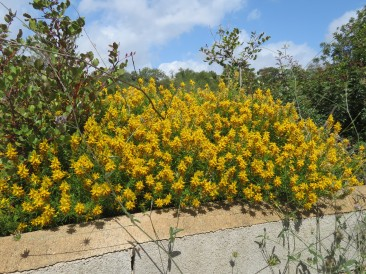 The broom is peppered throughout the mountainside.