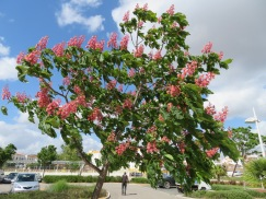 A flowering chestnut tree.