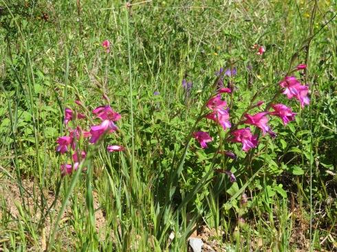 The wild gladioli are still in abundance all throughout the hillsides.
