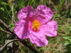 This is from the cistus family but I'd never seen it before. I was used to the large bush type but this one is ground cover, only about an inch or so off the ground.