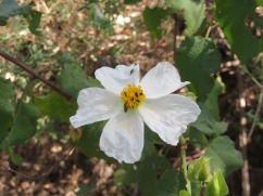 This is another form of cistus and look at the bugs......covered with tiny little critters taking care of business.