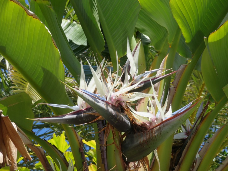 I do love this relative to the bird of paradise that grows high in the banana tree. This was close to where we caught the ferry to head home.