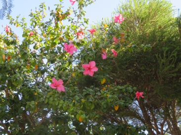 This very tall and quite pink hibiscus has suddenly started blooming in the top of a second tree that contains deep red flowers. This is beside our front door.