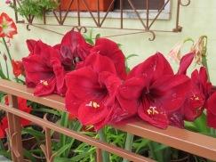 Amaryllis, these resembling velour or velvet.
