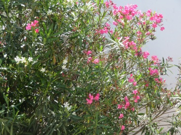Oleander is bursting out everywhere.