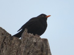 The blackbird on the very top of the stump seemed to be enjoying the sunset.b