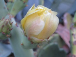 The prickly pear cactus are starting to bloom, mostly orange flowers but the occasional yellow.