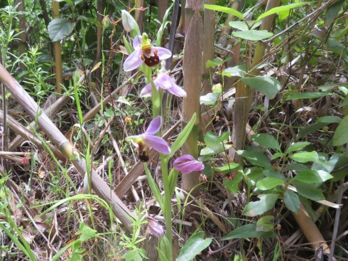 And a final cluster of bee orchids.