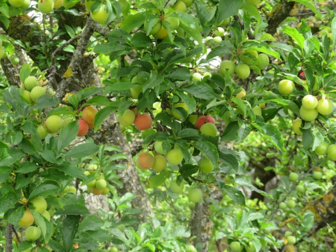 We think these are cherries but not 100% certain as they also look like tiny plums. In any case, the trees around town are laden with fruit, it will be a substantial crop.