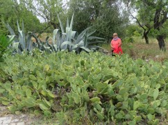Look at the size of this cactus bush near our parking. Can you spot the prickly pear????