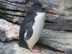 This little penguin seemed drunk or sleepy. He kept wobbling as if he would fall over any moment.