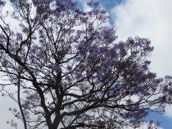The jacaranda against the sky. A perfect contrast.