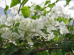 My all time favourite, white bougainvillea.
