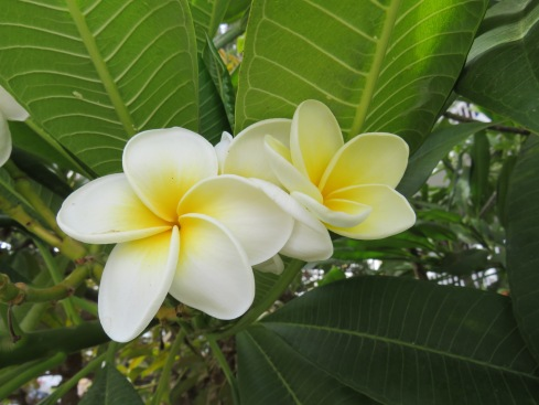 Frangipani blossoms. The tree must have been about 35 feet tall and was covered in flowers.
