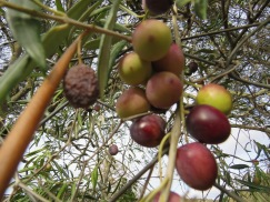 Many olive trees are still bending in fruit.he