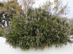 And finally, this enormous rosemary hedge is about five feet tall, at least six feet long and the scent, heavenly. Always makes me hungry!