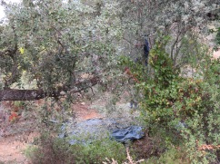 If you look you will see the man in the tree shaking down the olives to the nets below. I love hearing the chatter and laughter of the people working. They seem to find fun in all they do.