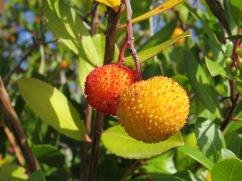 A close-up of the medronho fruit.