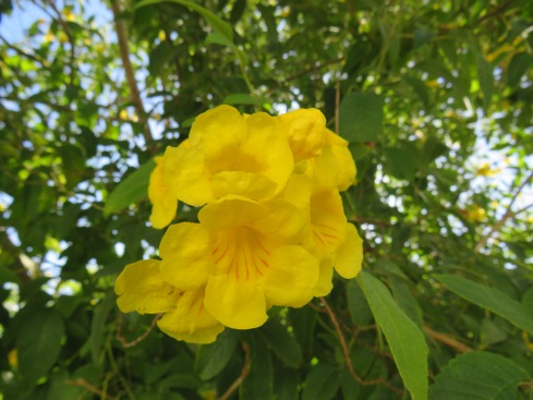 Tecoma stans or yellow trumpet flower, this particular plant is cultured more as a tree here and is in abundance at the moment. Such a rich lush yellow.