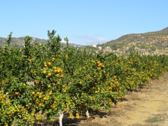 """The oranges are quickly turning orange coloured and won't be much longer before they are """"pickable"""""""