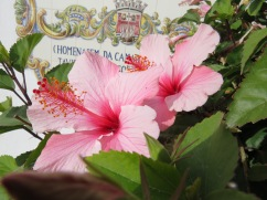 Hibiscus are in bloom all over the place.