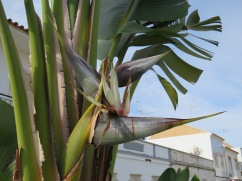 I love the flower of the banana tree.......a tiny bit past it;s prime but still in my opinion, breathtaking.