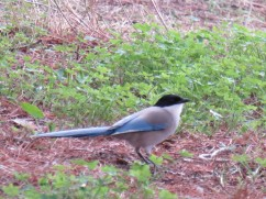 The azure-winged magpie is a bird in the crow family. They are challenging to photograph as they tend to fly off the second you stop to try and get a photo.