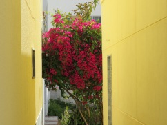 A tiny alley and an enormous bougainvillea to make the eyes and the heart happy.
