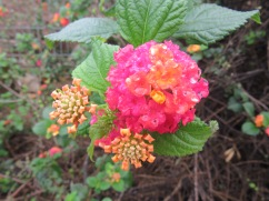 The ever present lantana, which I love. I never grow tired of looking at it up close and seeing the details of each cluster.
