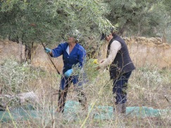 It's usually the women we see outside harvesting the olives. Many trees are already stripped of fruit however you still encounter the occasional orchard that is still being worked. b