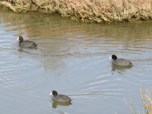 These are called eurasian coots