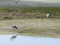 The storks have returned in the last week or so and are feasting along the shallow waters.