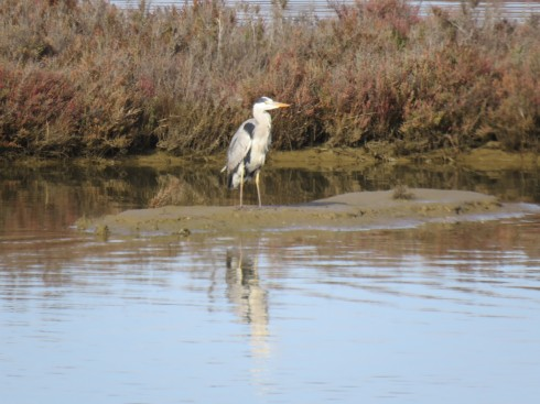 A heron wandering along the shore line. Plenty to eat here and very protected.