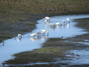 These are a flock of Royal Spoonbills.